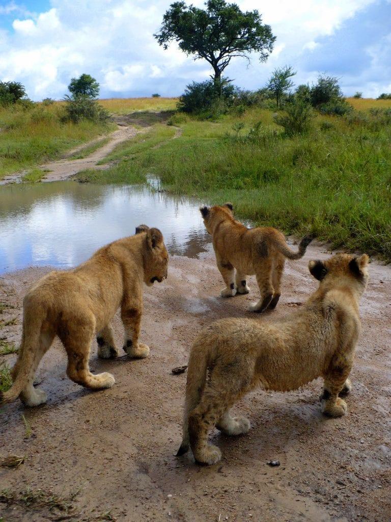 Cubs enjoying their walk