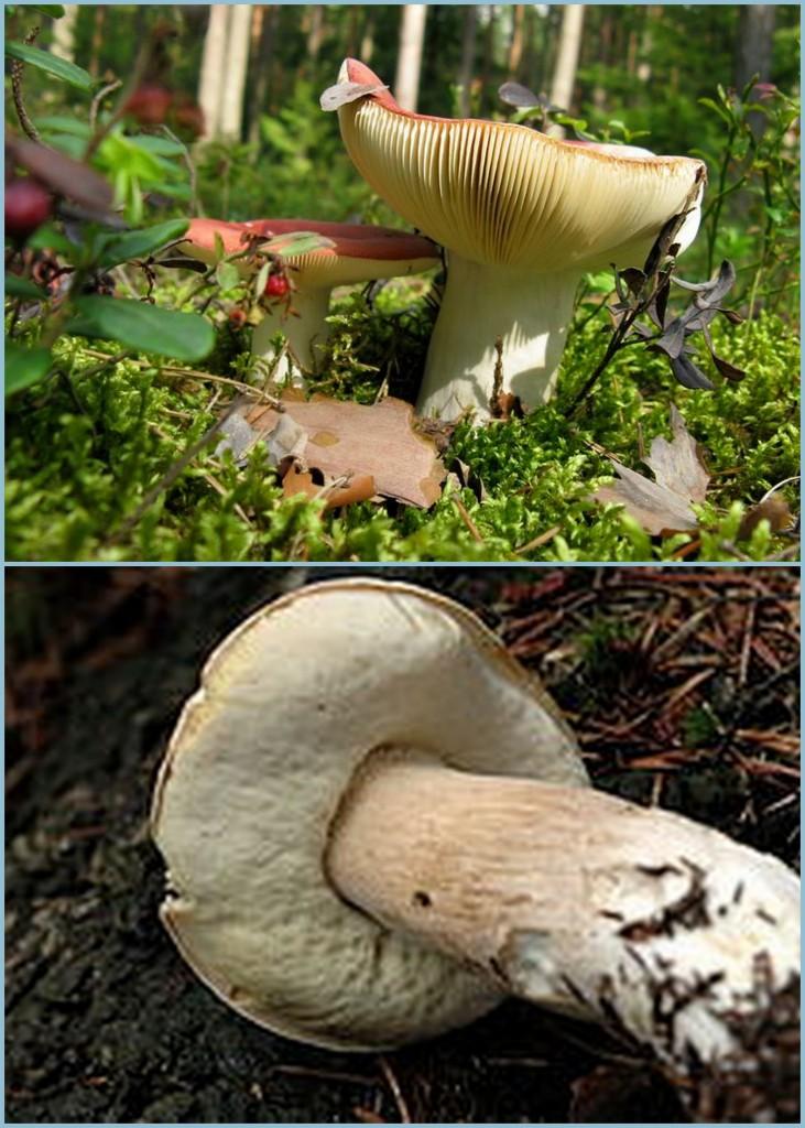 Top: poisonous Bottom: edible