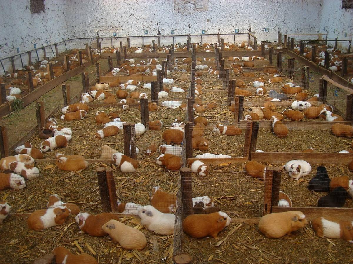 guinea pigs ecuador