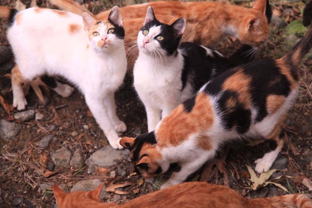 Cypriot Cats