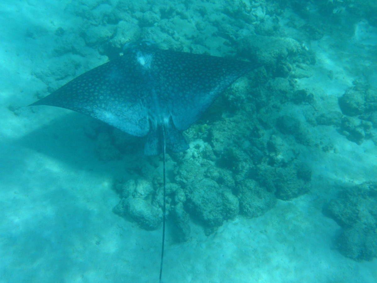 This ain't a manta ray!