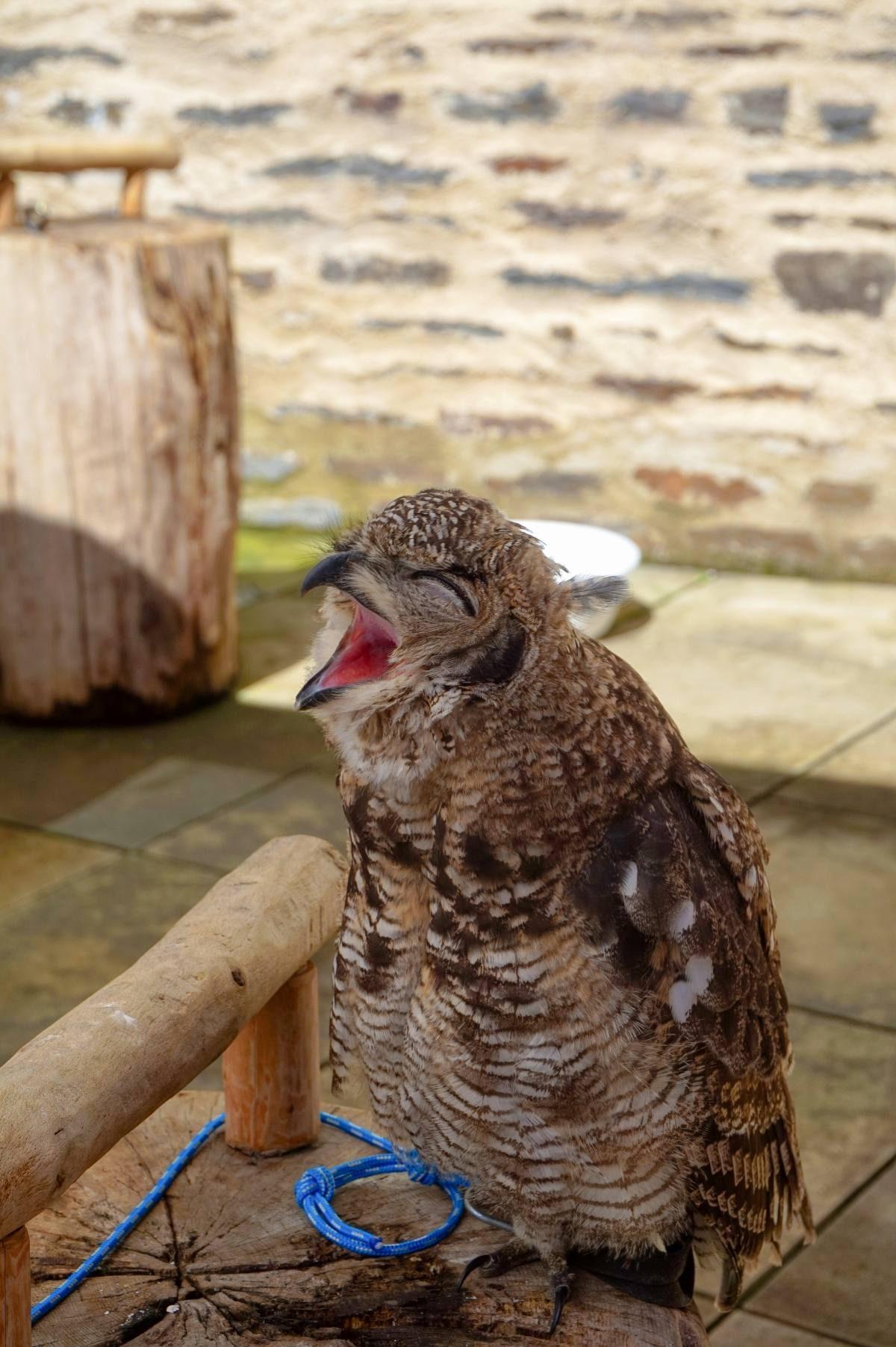 baby owl yawning