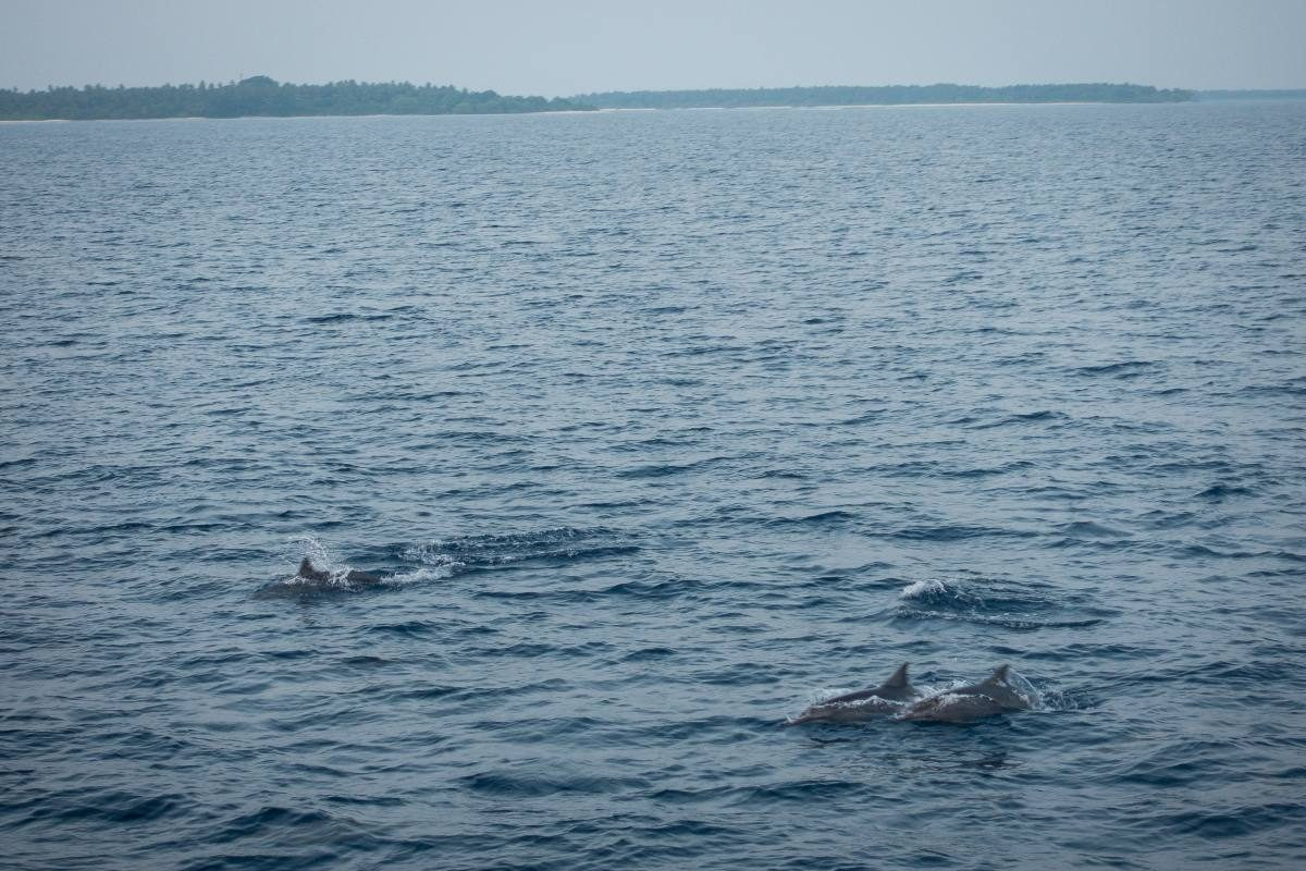dolphins maldives