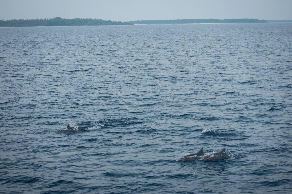 dolphins maldives