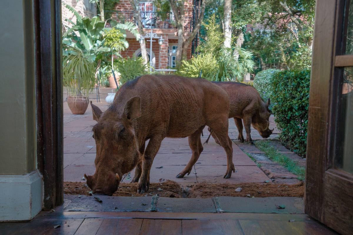warthogs kenya