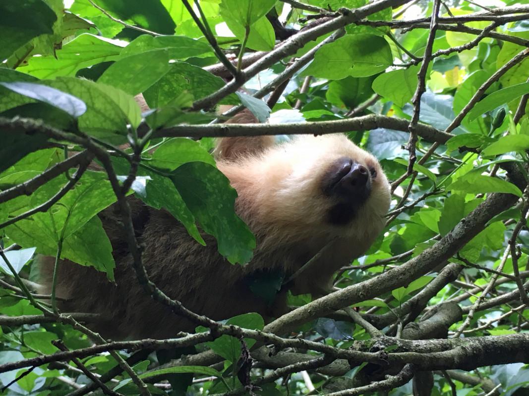 sloth costa rica