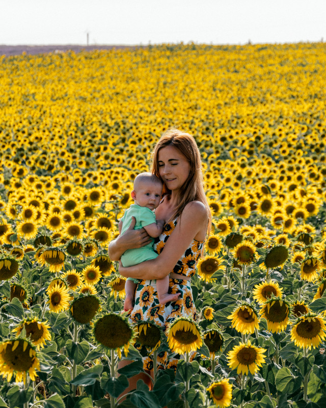 sunflower fields Valensole