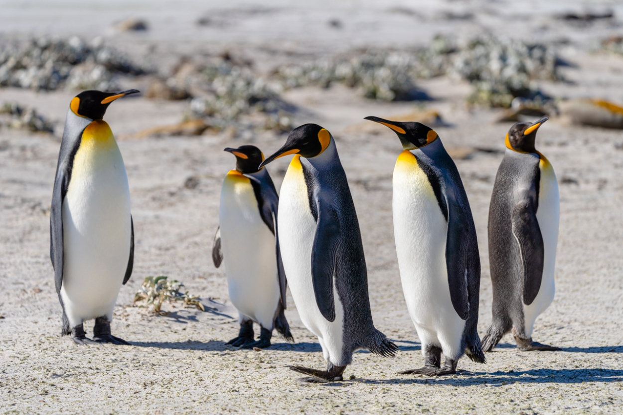 King Penguins Saunders Island