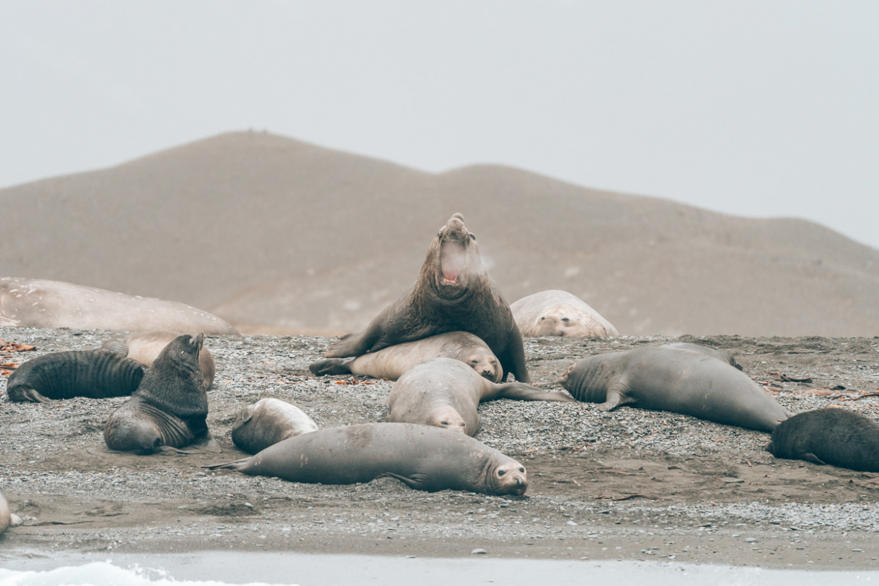 elephant seals sex