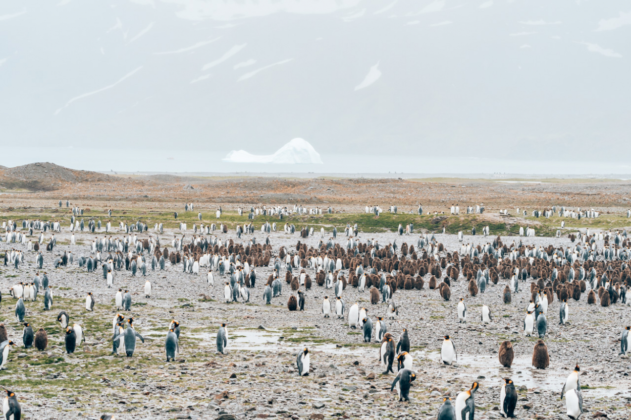 Fortuna Bay penguins