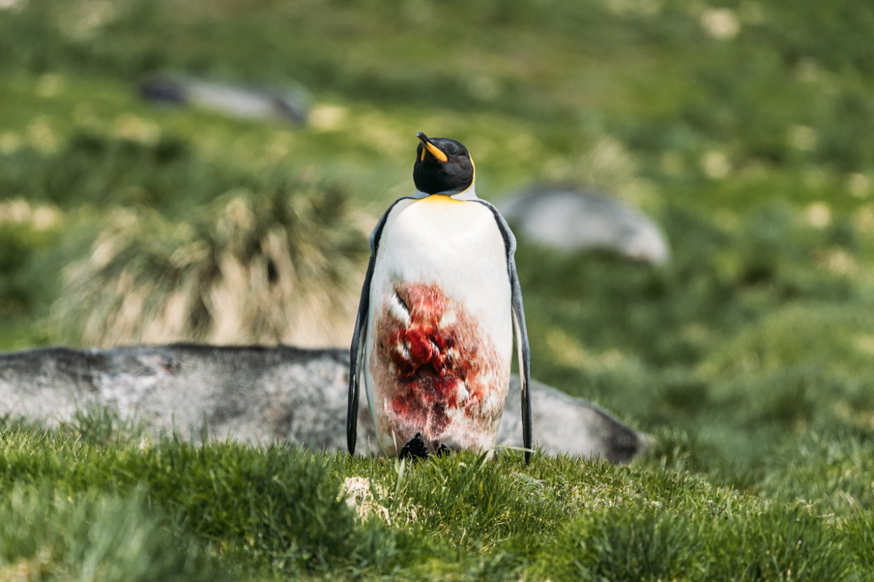 injured penguin