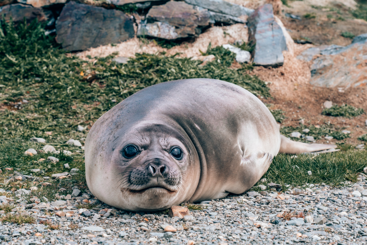 Baby female elephant seal