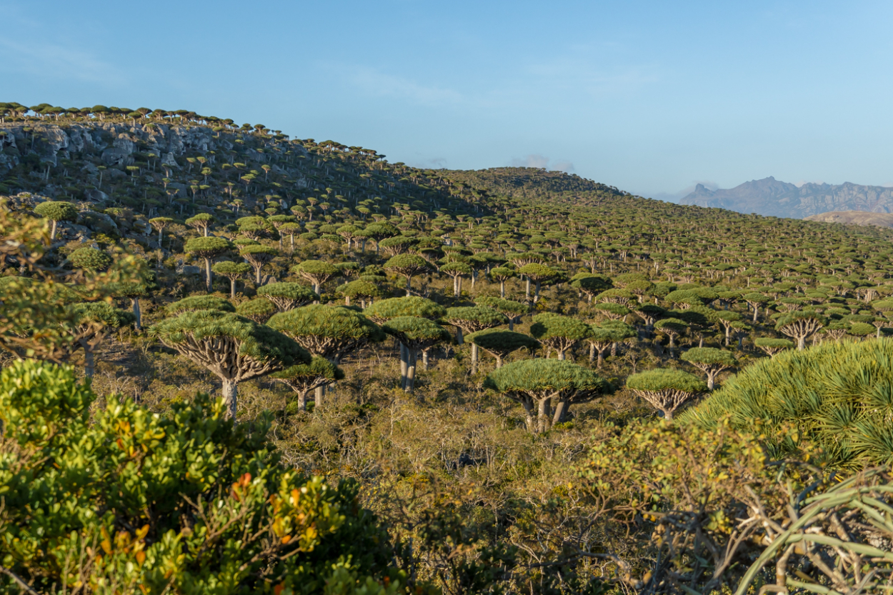 dragon blood trees Socotra