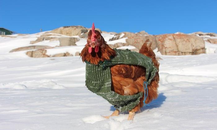 traveling chicken